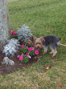 Missy Petunias